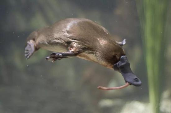 捕食中的鴨嘴獸。圖片來源:Medical News Today