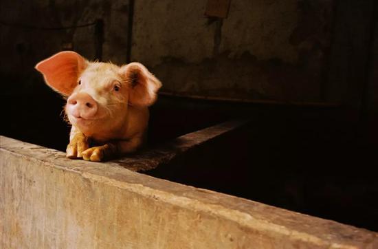 家猪的生长速度也是极快