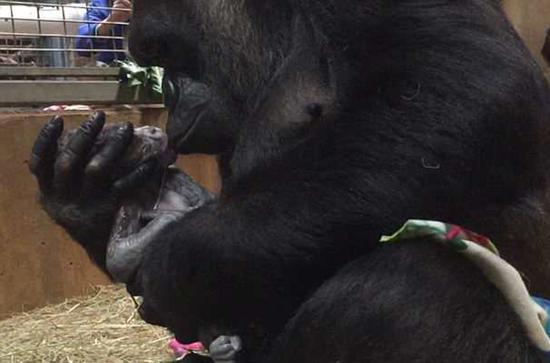 有爱!美国大猩猩母爱爆棚与新生幼崽亲昵相处
