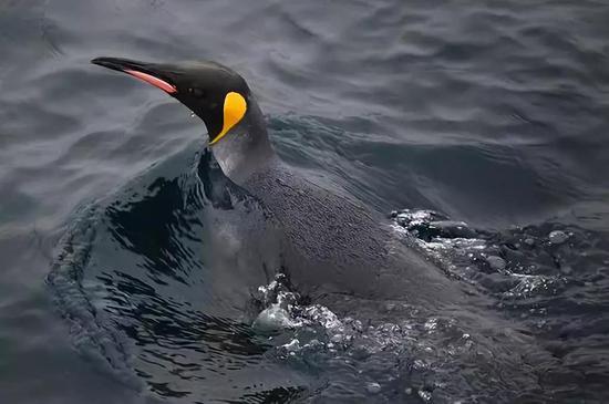 锋面南移,王企鹅就要游得更远才能获得食物。图片来源:pixabay