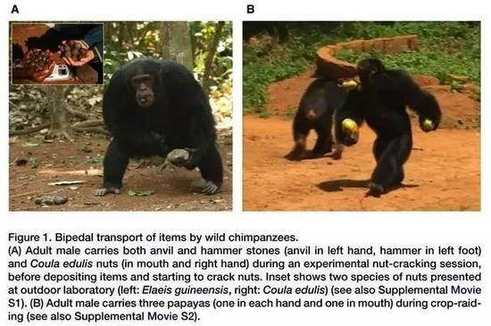 挖地道、翻围栏、偷钥匙……这些猩猩为什么要逃跑?