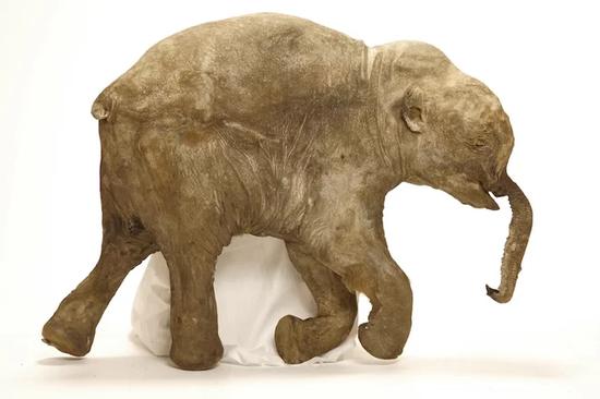 ▲猛犸象Lyuba,死时只有一个月大,是至今为止的最完整的猛犸象标本。(来源:Live Science)