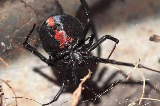 雌性红背蜘蛛腹部鲜艳的沙漏形图案(引自维基百科)