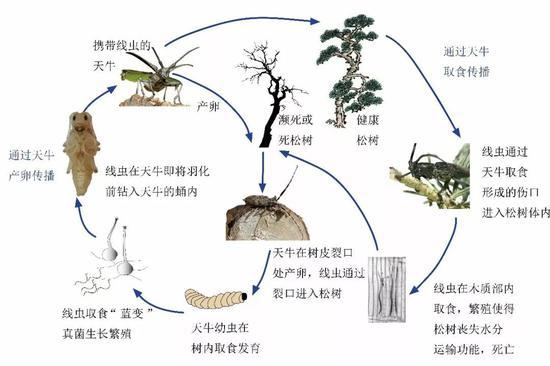 松材线虫的危害方式。图片来源:宁波出入境检验检疫技术中心