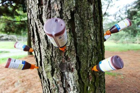 松树挂吊瓶现已全面升级为插瓶子了,瓶内药液为阿维菌素乳油,一款优秀的杀线虫药剂。图片来源:杭州热心市民