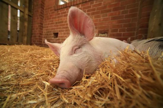 (特别说明:本文照片多为现今常见猪种,与中国传统猪种不同;图片源自@VCG)
