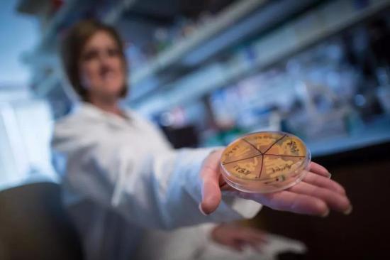新研究中,研究人员培养的梭菌纲肠道菌