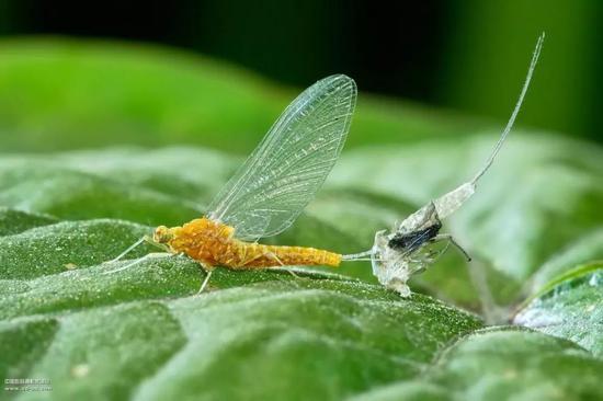 正在蜕皮的昆虫。包括节肢、叶足、曳鳃、线虫等,都属于蜕皮动物(图片来源:www.cd-pa.com)
