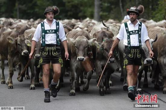 德国巴伐利亚牧民放牧。