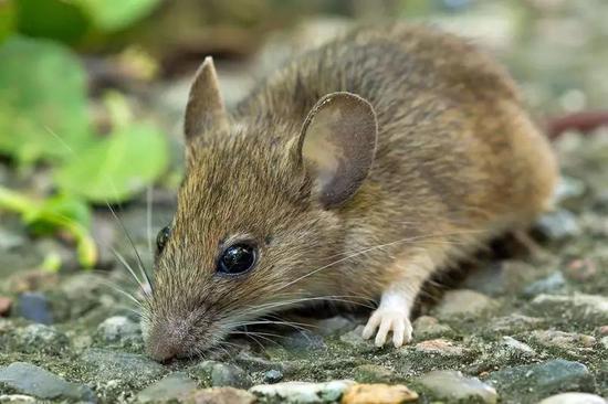 一隻姬林小鼠(圖片來源:Wikipedia)