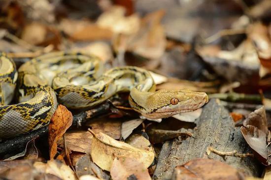网纹蟒。图片:Rushen / Wikimedia Commons