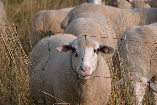 《【摩登2安卓版登录】蒙古国要送来三万只羊,除了涮肉还能干什么?》