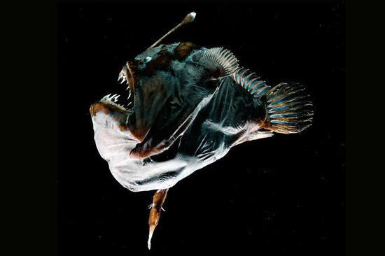 雌性深海琵琶鱼  图片来源:Edith A. Widder