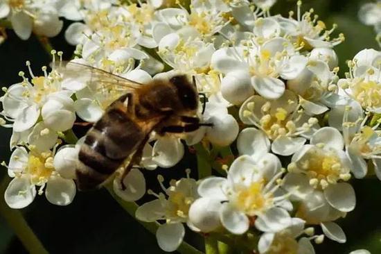 明知道石楠花的味道令人尴尬,为什么我们还那么爱种它?