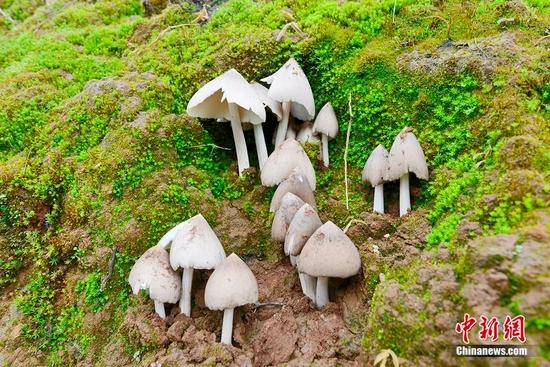 """发光、变色还能""""跑""""……云南蘑菇到底有多野?"""