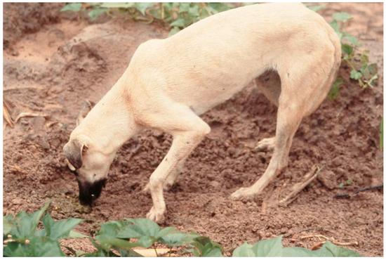 在地上寻找人粪的狗。图片:James R。 A。 Butler,et al。/Animals(2018)