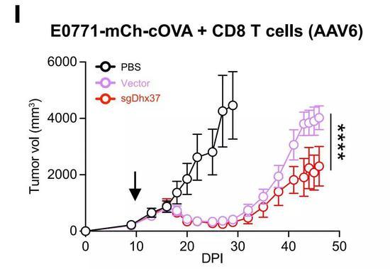 ▲在T细胞中敲除Dhx37,可以起到抗肿瘤的效果(图片来源:参考资料[1])