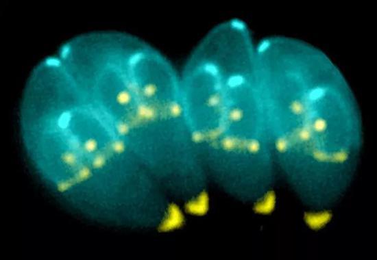 分裂过程中的弓形虫(图片来源:KE HU & JOHN M。 MURRAY/WIKIMEDIA COMMONS)