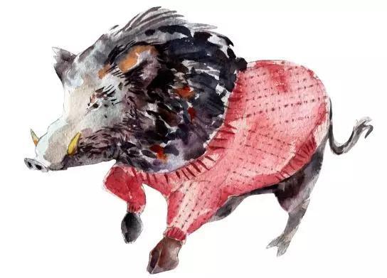 兇悍的野豬(圖片來源:視覺中國)