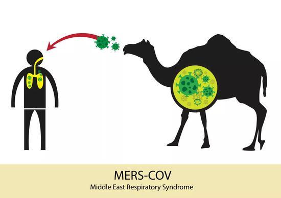 骆驼是MERS的中间宿主 | 图虫