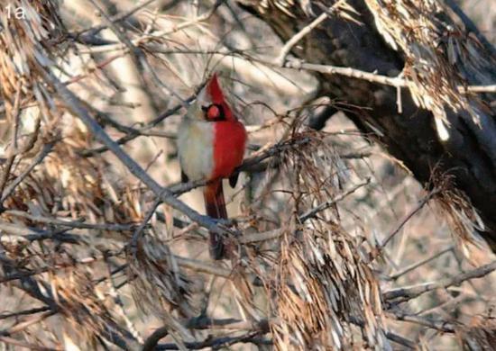 """被长期观测的这只北美红雀是""""男左女右"""",左边是雄性的鲜红色,右边是雌性的褐灰色。而大多时候,半雌半雄的鸟表现为""""女左男右""""。"""