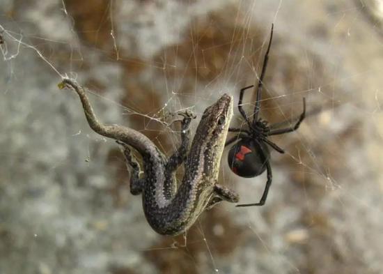 一只红背蜘蛛正在捕食一只蜥蜴(引自维基百科)