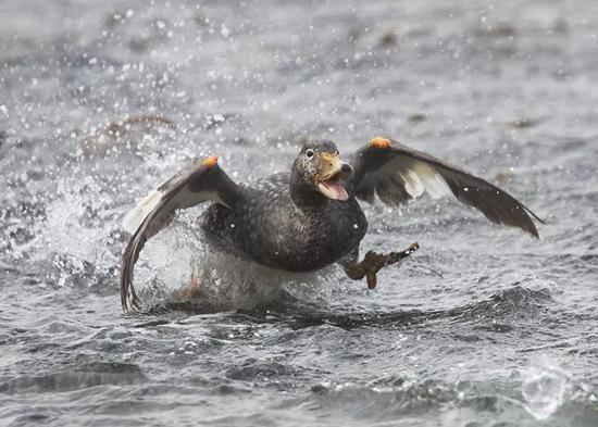 圖1|船鴨特有的逃跑方式。