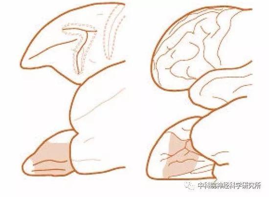 图1阴影部分展示了眶额叶皮层所在位置。左图为猕猴脑图谱,右侧为人的脑图谱。大脑的前端朝左,上图展示的是大脑的侧面观,下图展示的是底面观(从大脑的底部向上看过去,脑侧缘朝上)。(图片来源:RichardE.Passingham and Steven P.Wise lt;The Neurobiology of the PrefrontalCortex gt;。