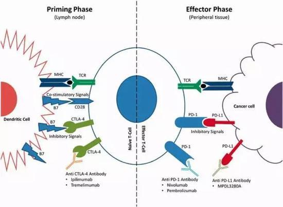 图9:T细胞活化的免疫检查点(来源:细胞生物治疗研究中心)