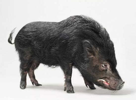 (现代野猪,图片源自@VCG)