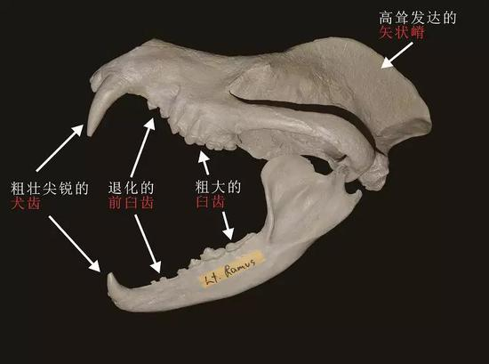 犬熊属头骨结构示意图