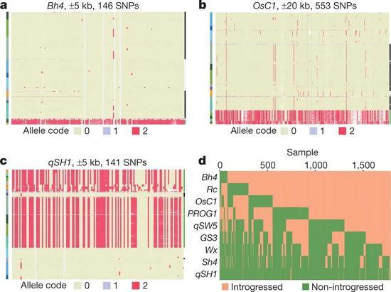 图4 一些驯化基因在不同的的水稻类群中固定不同的状态(引自Wang等人2018年的文章)