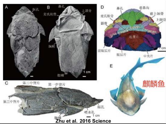 ▲朱敏等人發現了一種來自中國雲南省曲靖市的盾皮魚(麒麟魚),它掃除了在脊椎動物頜演化認識上的盲區。(圖片由朱敏提供)