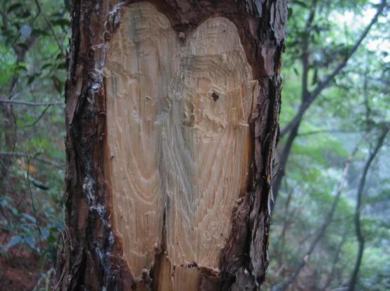 死于松材线虫的松树纵切面,已有蓝变真菌滋生。图片来源:南京农业大学植物线虫实验室