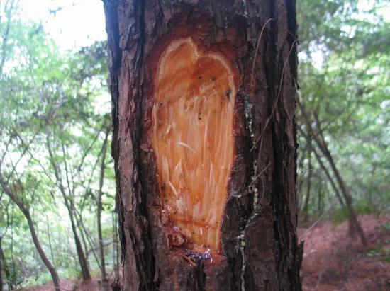 健康的马尾松切面,馥郁的松脂芬芳破图而出。图片来源:南京农业大学植物线虫实验室