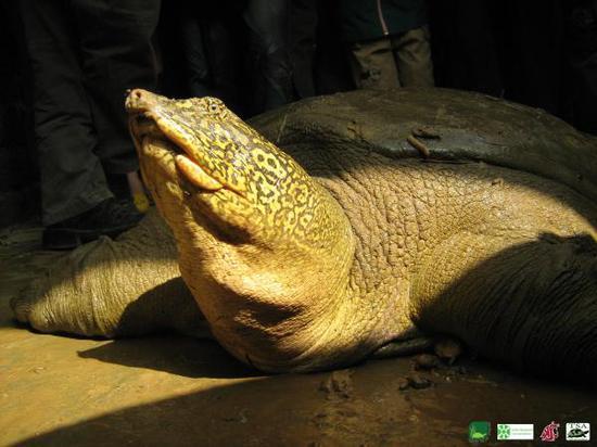 拍摄于2008年的越南东莫湖斑鳖是目前唯一一只在野外生活确认存活的个体。