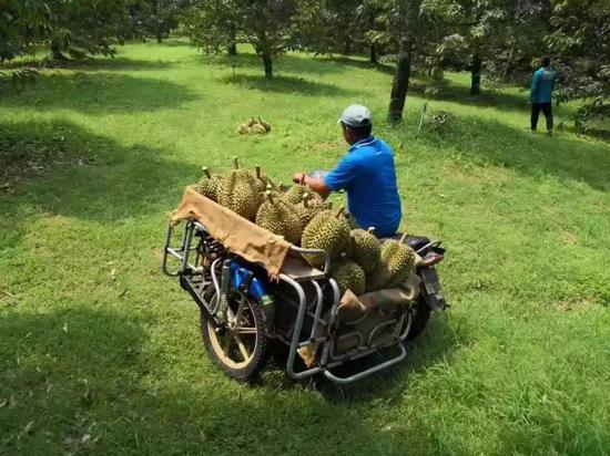 泰国金枕头榴莲主产地尖竹汶府的工人们正在运新鲜采摘的榴莲。来源:被访者供图