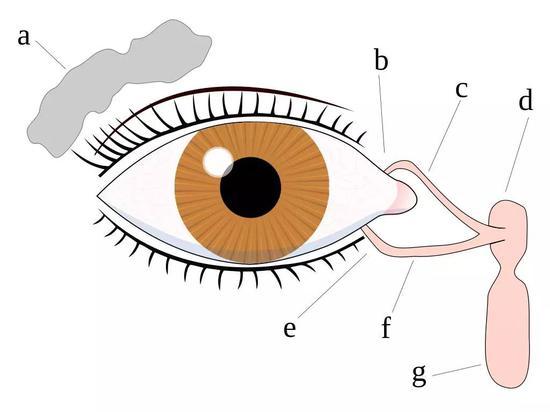 a :泪腺、 b:上泪点 、c:上泪道、 d:泪囊 、e: 下泪点 、f : 下泪道 、g : 鼻泪管