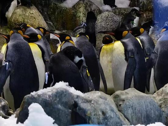 这么可爱的王企鹅真的有一天会消失吗?图片来源:pixabay