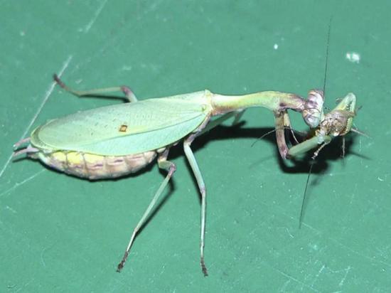 雌螳螂正在进食(Romina Scardamaglia摄)