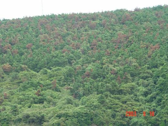 宁波某座山头成片枯死的松树。图片来源:宁波出入境检验检疫技术中心