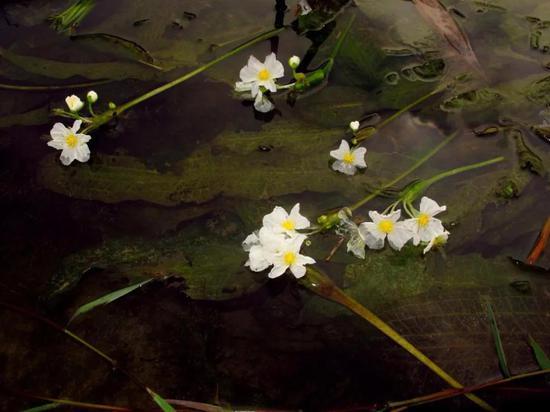 图5 黑藻和海菜花照片(付文龙拍摄)