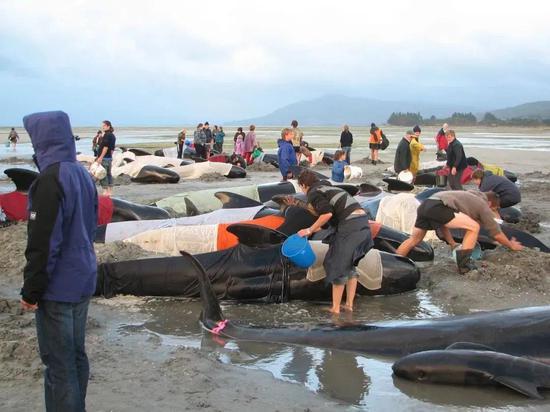 瓜头鲸搁浅台州,9头被救起!鲸豚为何搁浅,如何科学救助?