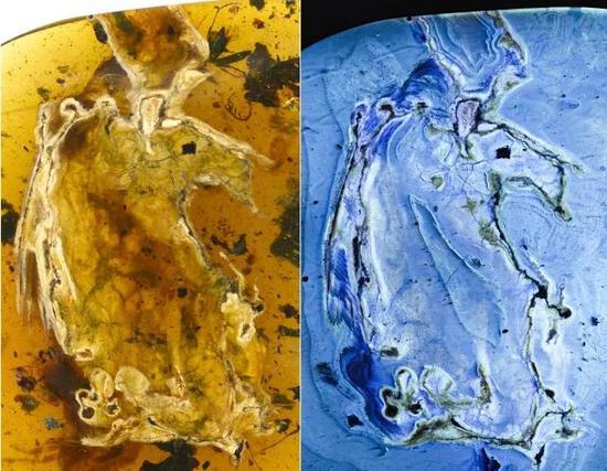 煎饼鸟标本自然光照片与荧光照片(供图:邢立达)