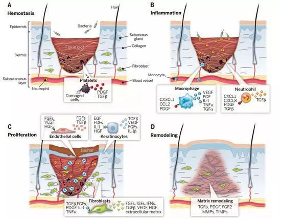 图示为皮肤损伤愈合的过程,从创口期(A)→炎症期(B)→增殖期(C)→重构期(D);这一过程需要大量的基层角质细胞参与皮肤新生。