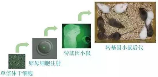 孤雄單倍體胚胎幹細胞替代精子獲得後代