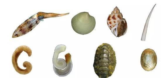 沒錯,這些都是貝類, 上排從左至右:頭足類(烏賊)、雙殼類(蛤)、腹足類(螺)、掘足類(角貝),下排從左至右:無板類(溝腹綱Solenogastres)、無板類(尾腔綱Caudofoveata)、多板類(石鱉)、單板類(新碟貝)(圖片來源:維基百科、中科院海洋所研究人員)