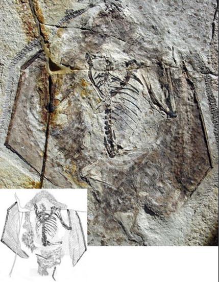 中國發現的熱河翼龍(Jeholopterus)保留了精美的軟組織。