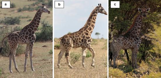 """首次!长颈鹿中出现了""""小短腿"""",但全球最矮的长颈鹿也比姚明高"""