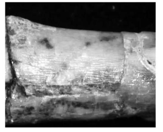 趙氏敖閏龍Aorun zhaoi的骨骼表面有縱向的樹皮狀紋理,指示了幼年特徵(圖片來源:Choiniere et al。, 2014)